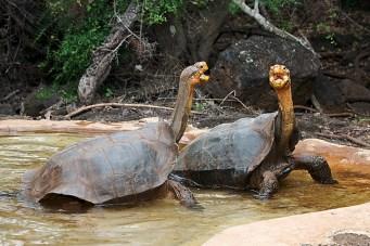 tortue géante des galapagos - mâle - combat