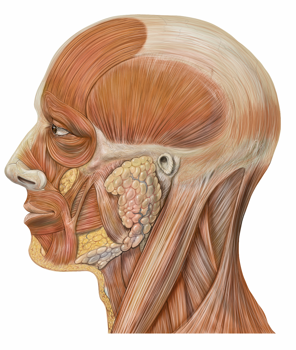 Facial Muscles Quiz By Bef0110