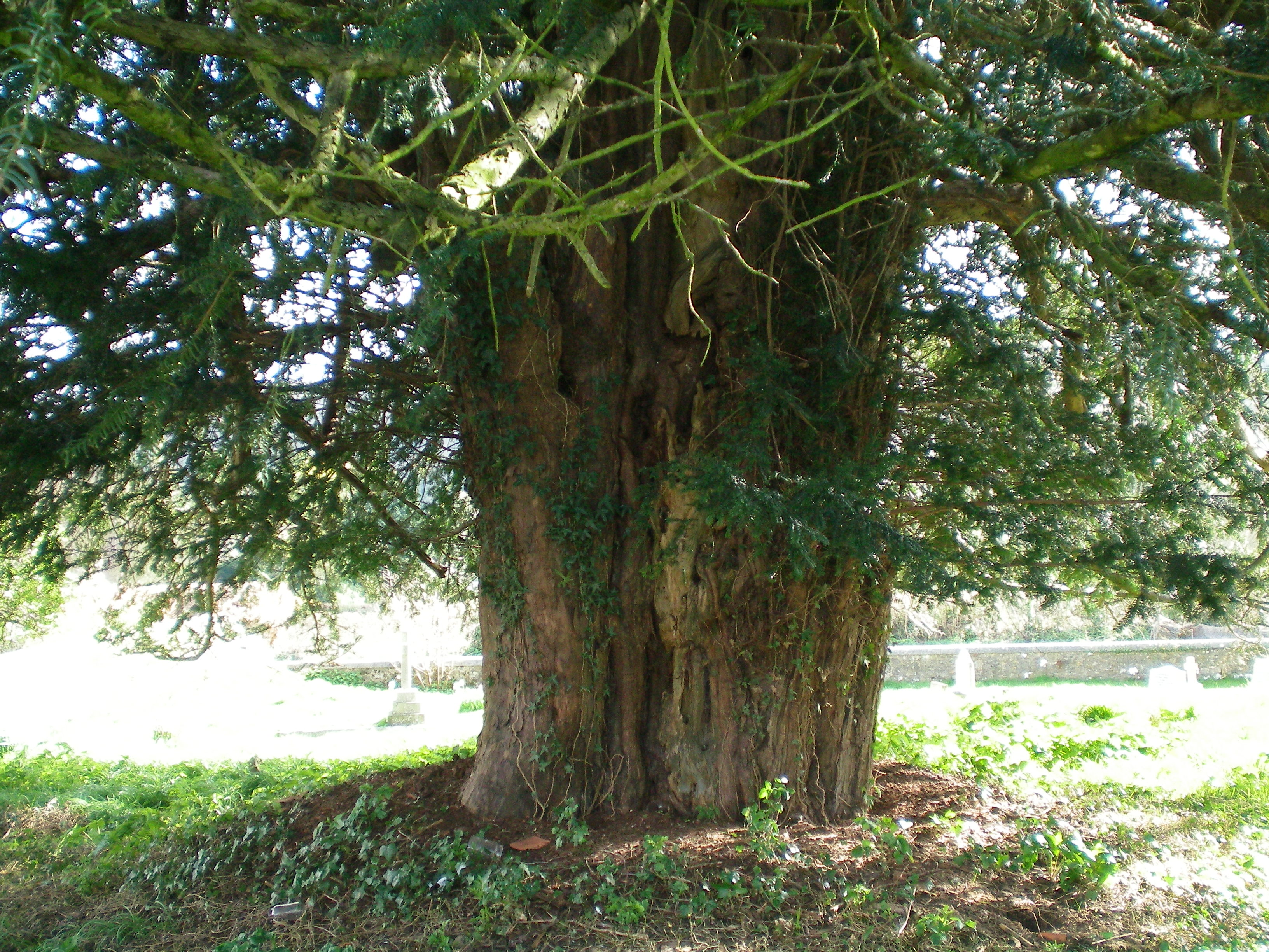 Bignor Church yew tree, West Sussex, England. (Wikimedia Commons)