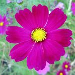 File Dark Pink Cosmos Flower Jpg Wikimedia Commons