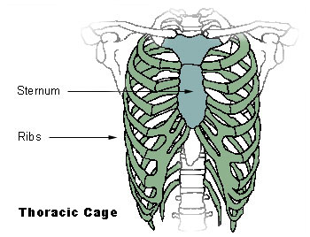 The sternum, shown in blue-green