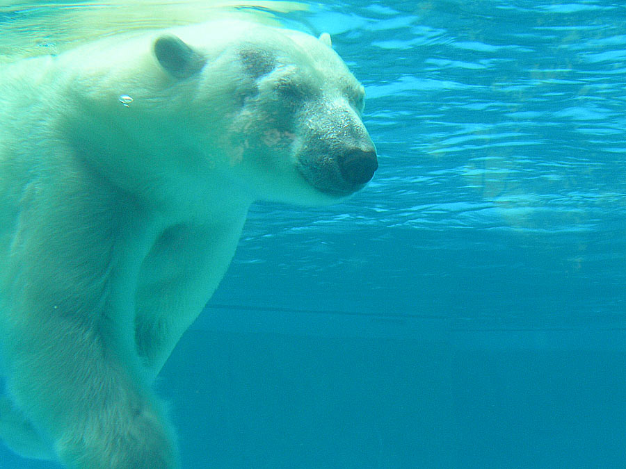 https://i1.wp.com/upload.wikimedia.org/wikipedia/commons/1/12/Polar_bear_under_water.jpg