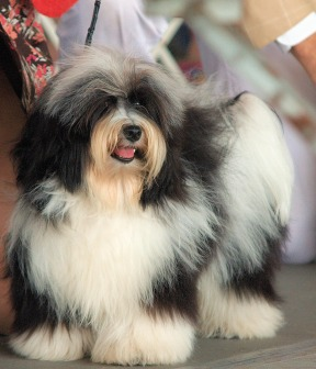 File:Havanese cd1.jpg