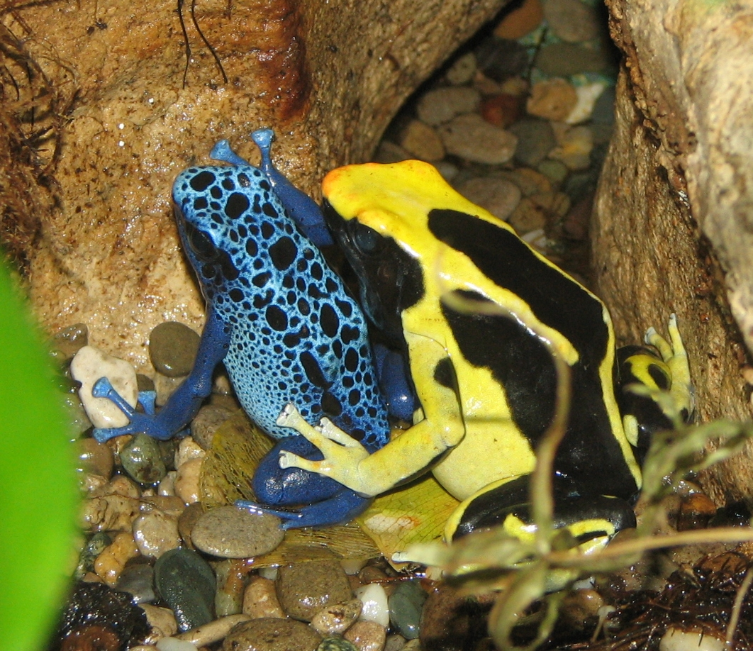 One large and one small arrow-poison frog, the smaller with blue reticulations on a black background, the larger with yellow stripes on a black background.
