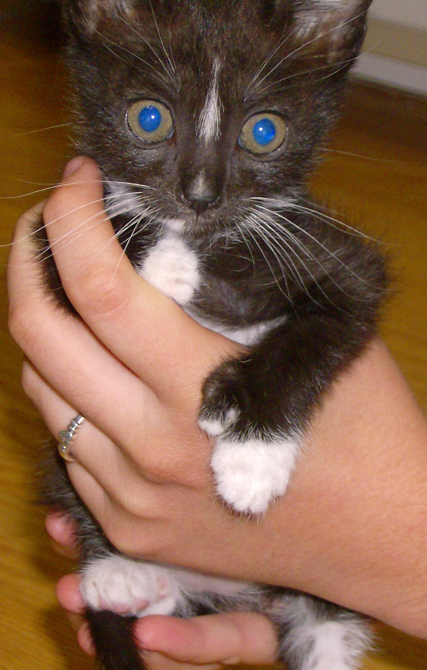 File Polydactyl Kitten