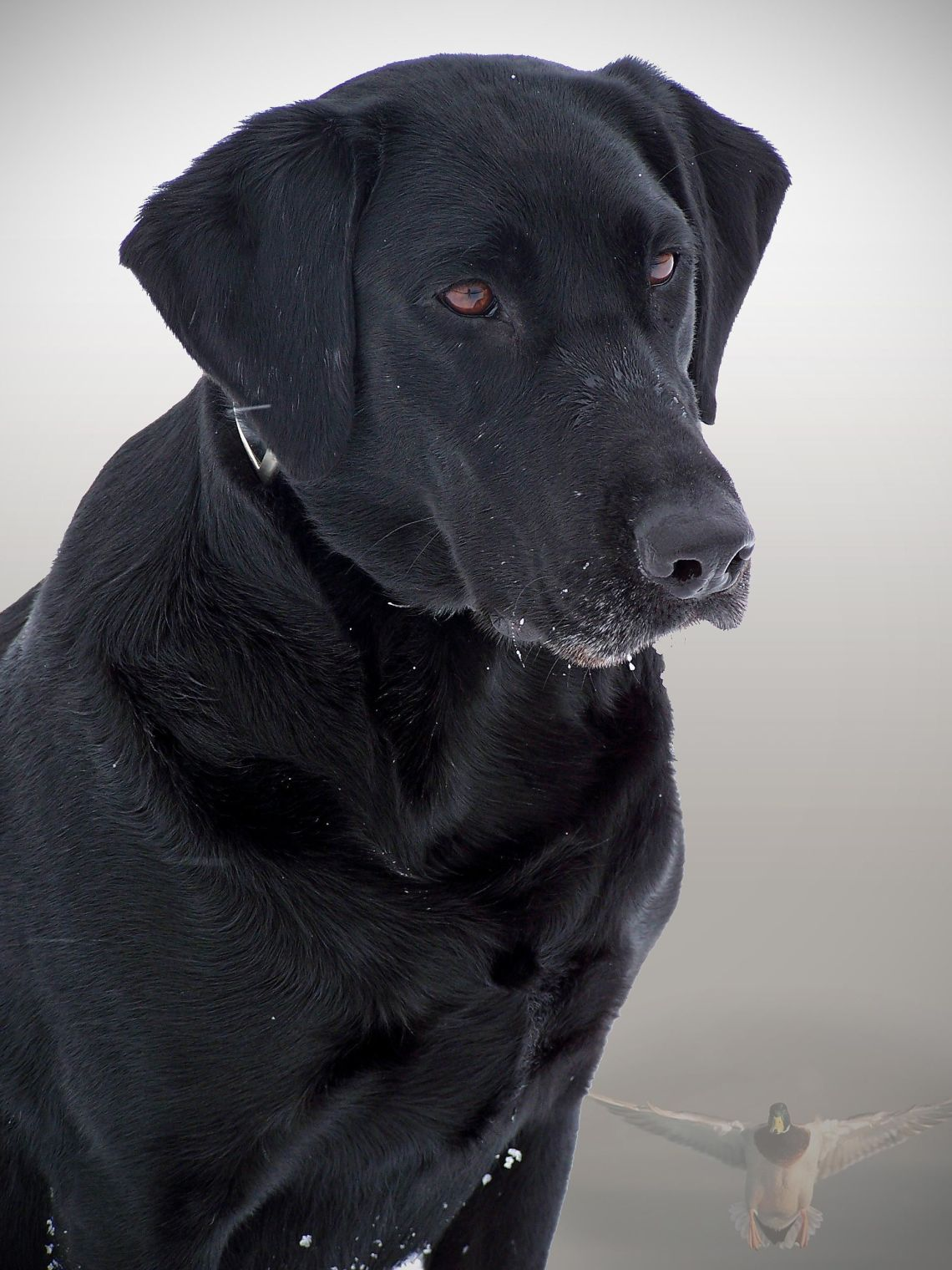 Black dog Pitbull Dog Black And White