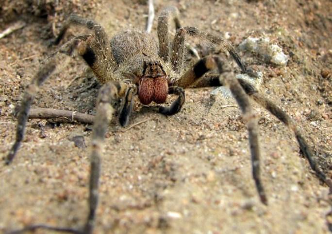 Bilderesultat for brazilian wandering spider
