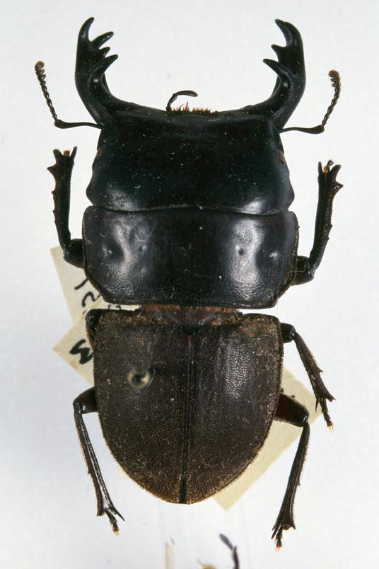 Geodorcus Ithaginis Wikipedia