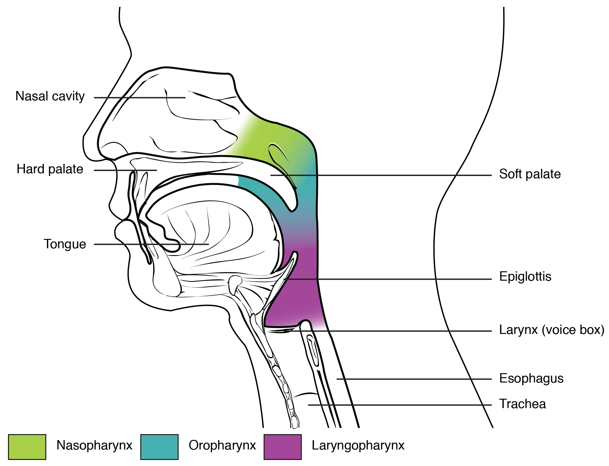 File Divisions Of The Pharynx