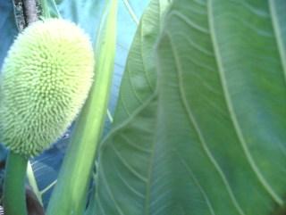 Artocarpus altilis flower