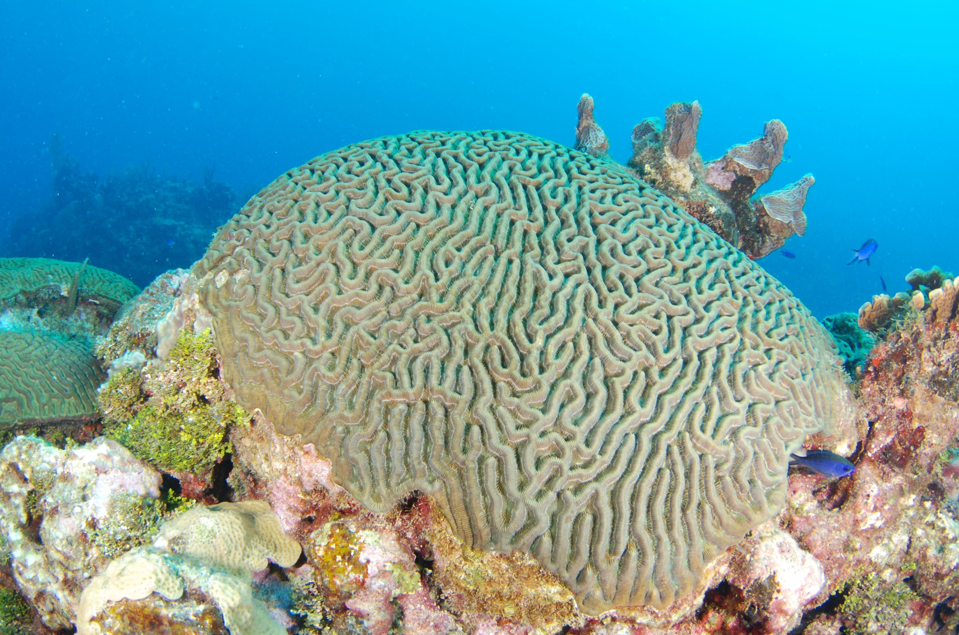 Symmetrical Brain Coral Caribbean Coral Reef Food Web