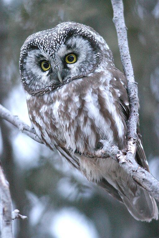 Aegolius funereus, Tengmalm's owl