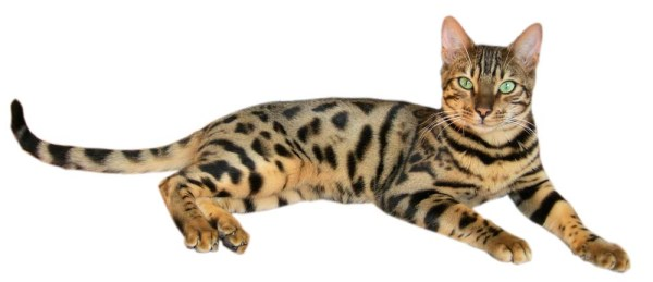 Bengal (Katzenrasse) – Wikipedia
