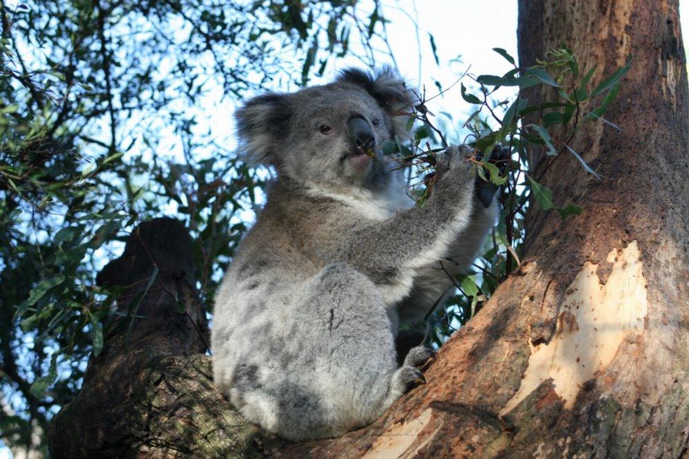 English: Koala, Victoria, Australaia.