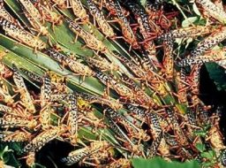Locusts feeding