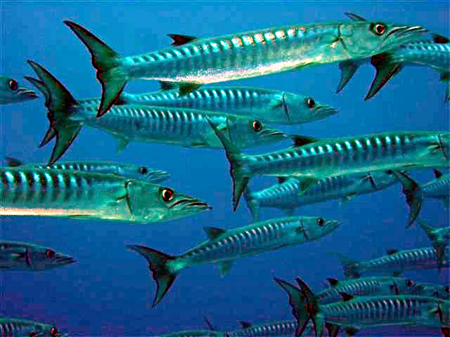 English: A school of Chevron barracuda (Sphyra...