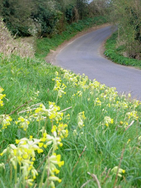English: Cowslips in the verge