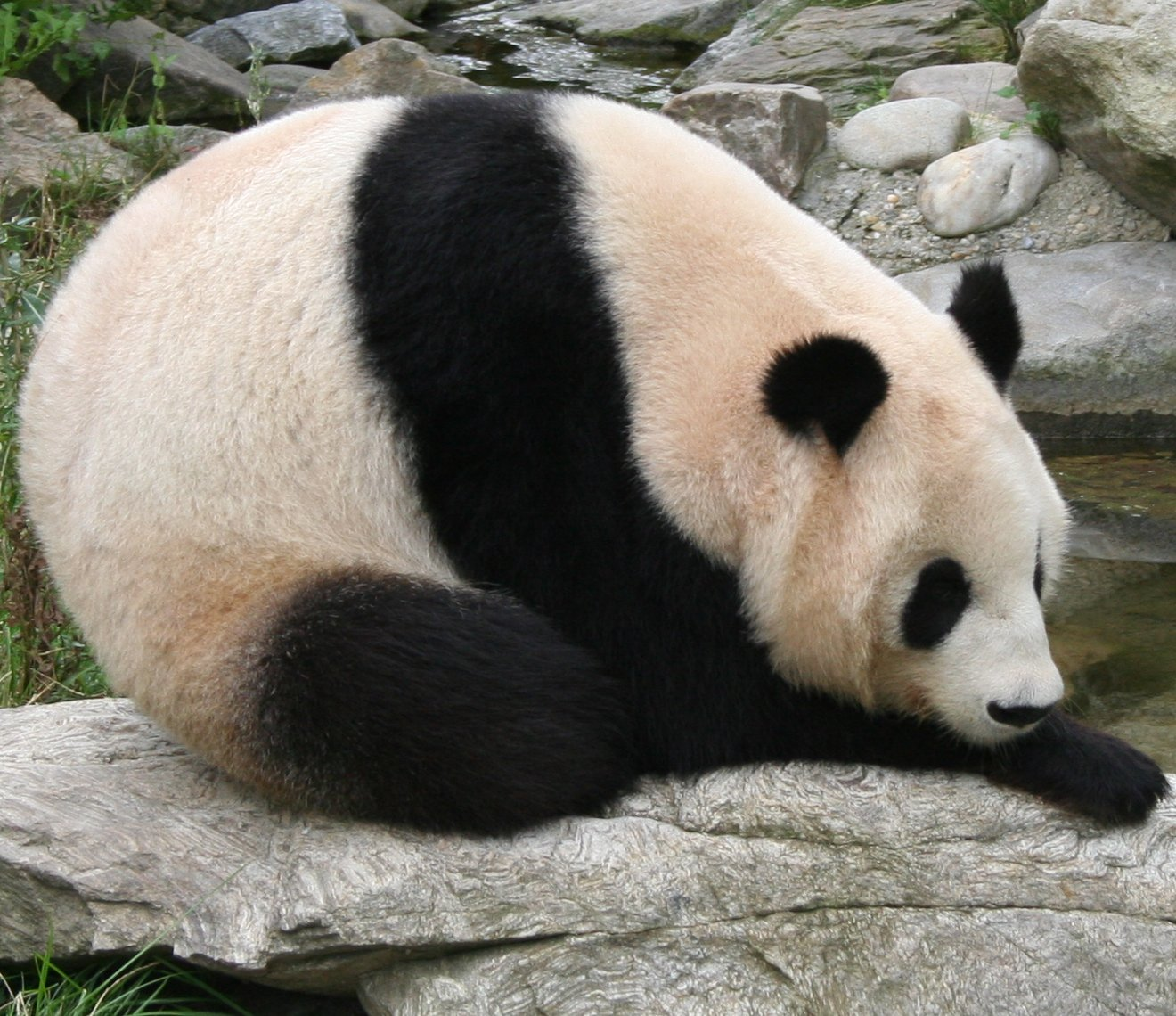 https://i1.wp.com/upload.wikimedia.org/wikipedia/commons/1/19/Giant_panda_at_Vienna_Zoo_%28cropped%29.jpg