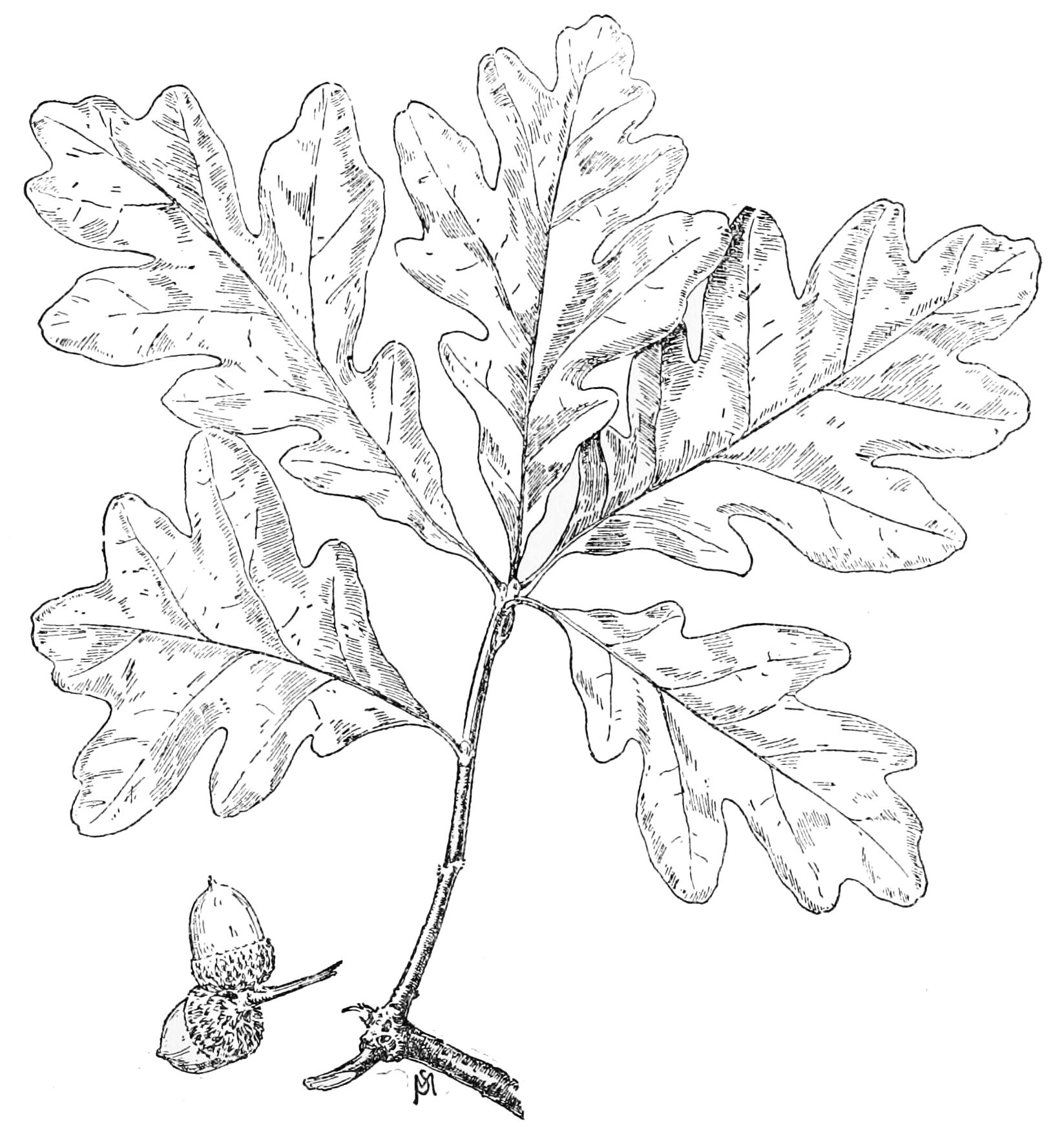 File Psm V49 D819 White Oak Leaf