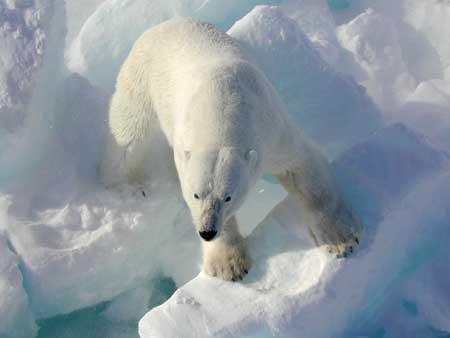 File:Polarbearonice.jpg
