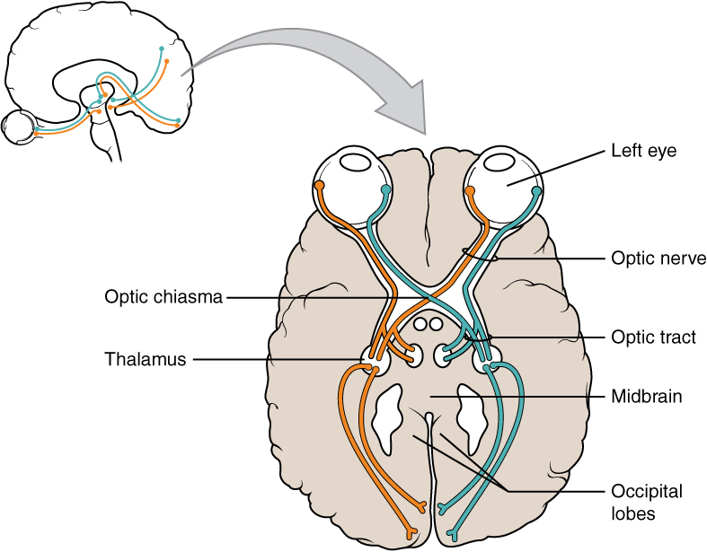 https://i1.wp.com/upload.wikimedia.org/wikipedia/commons/1/1a/1204_Optic_Nerve_vs_Optic_Tract.jpg