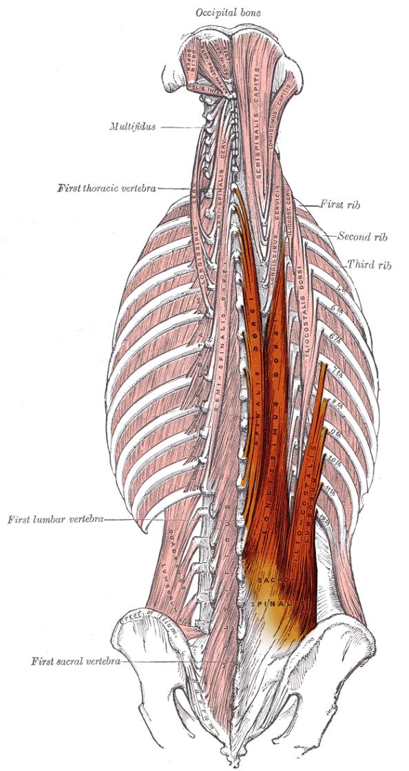 Image result for erector spinae