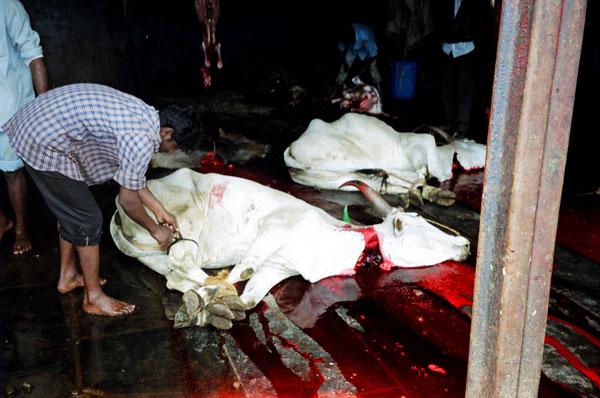 https://i1.wp.com/upload.wikimedia.org/wikipedia/commons/1/1b/Cow_slaughter.jpg