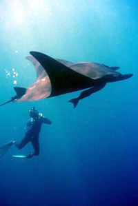 Giant Pacific manta.