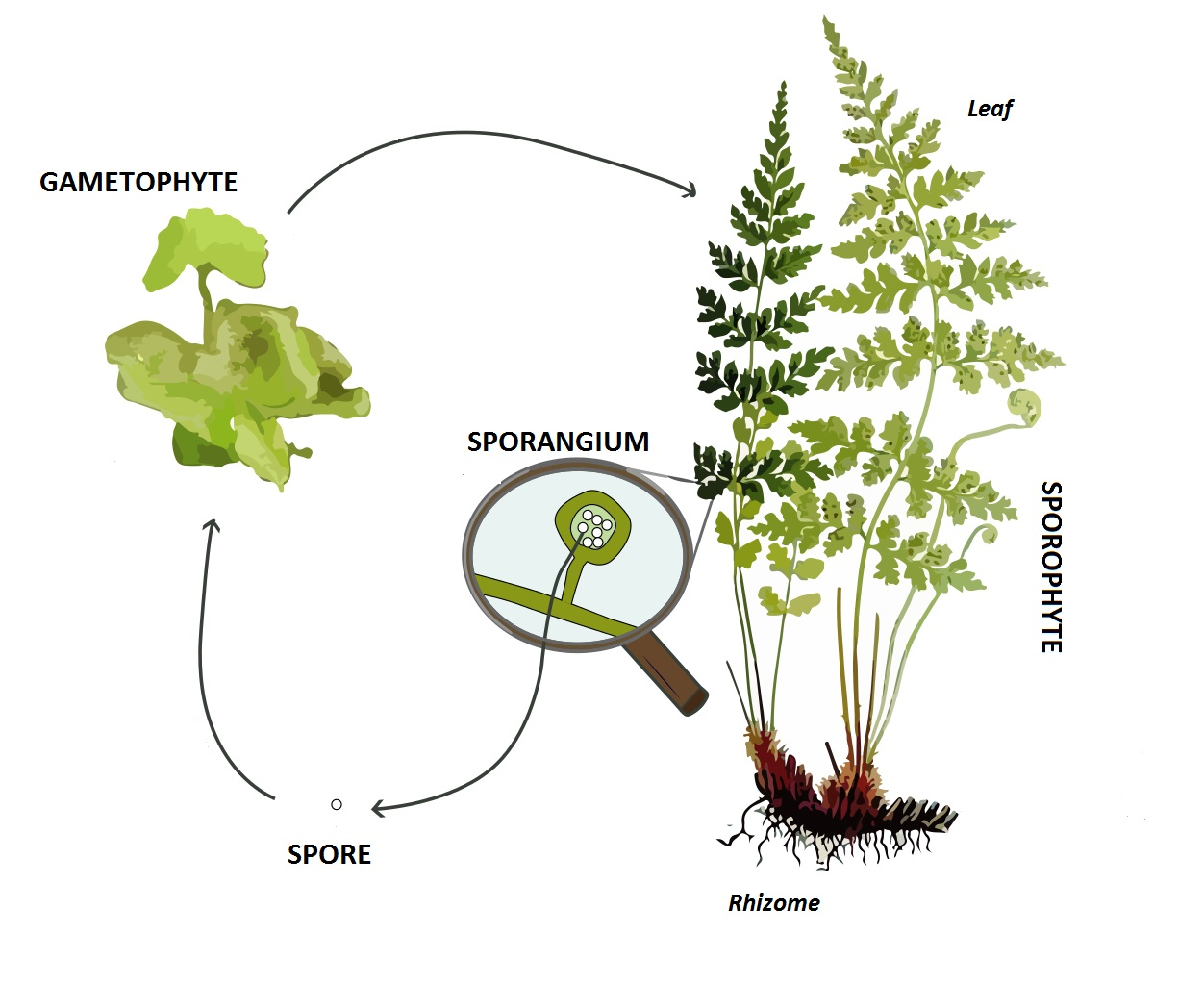 File Pteridophyte Lifecycle