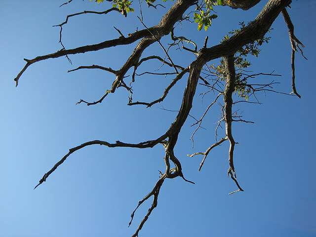 English: Withering branches of a dying oak A s...