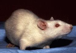 https://i1.wp.com/upload.wikimedia.org/wikipedia/commons/1/1d/Albino_Rat.jpg