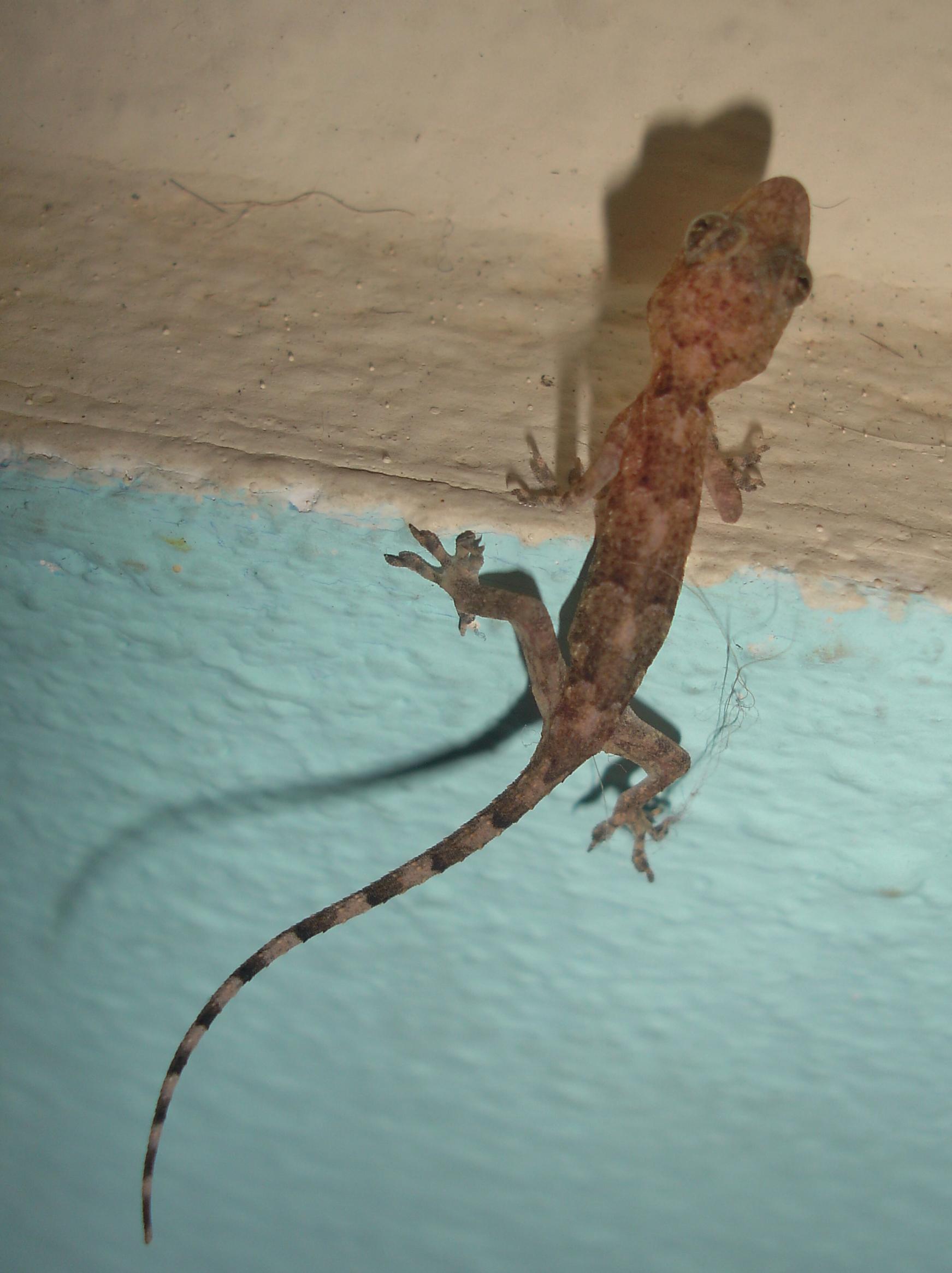 Tropical House Gecko Best Kitchen Gallery   Rachelxblog tropical ...
