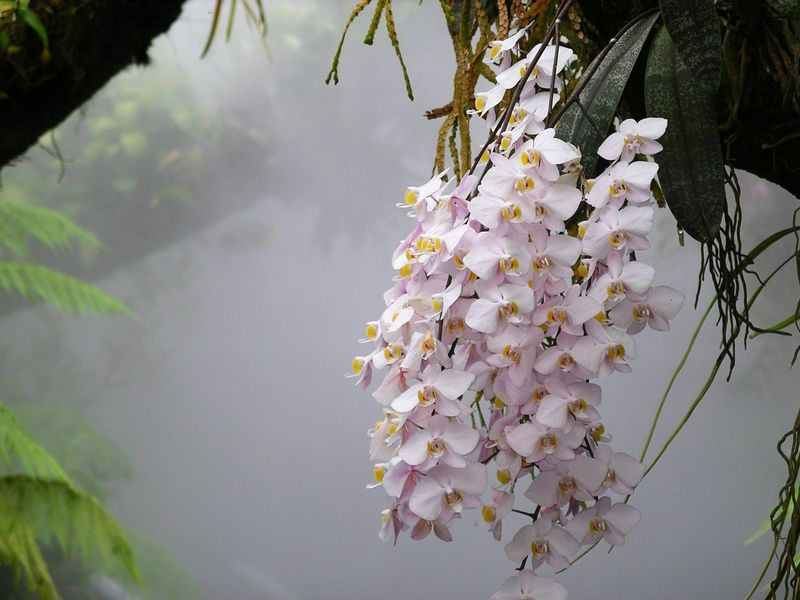 Phalaenopsis philippinensis in Singapore Botanic Gardens
