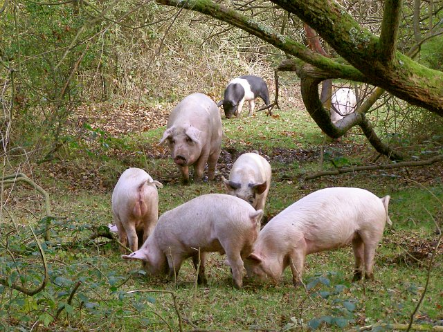 Schweine der New Forest Commoners (Hampshire/UK), Wikimedia, Creative Commons L., Foto: J. Champion