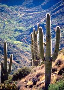 Desert landscape with saguaro cactii (Carnegie...