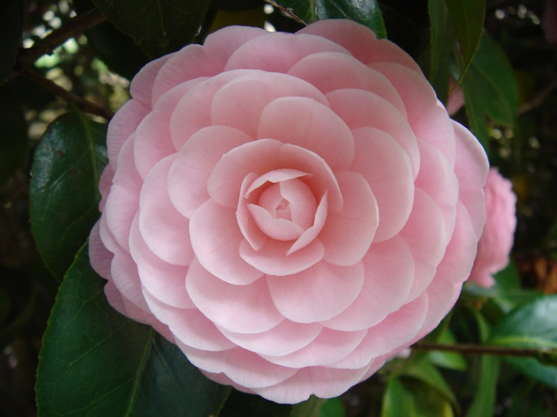 File Flower from Japan jpg   Wikimedia Commons File Flower from Japan jpg