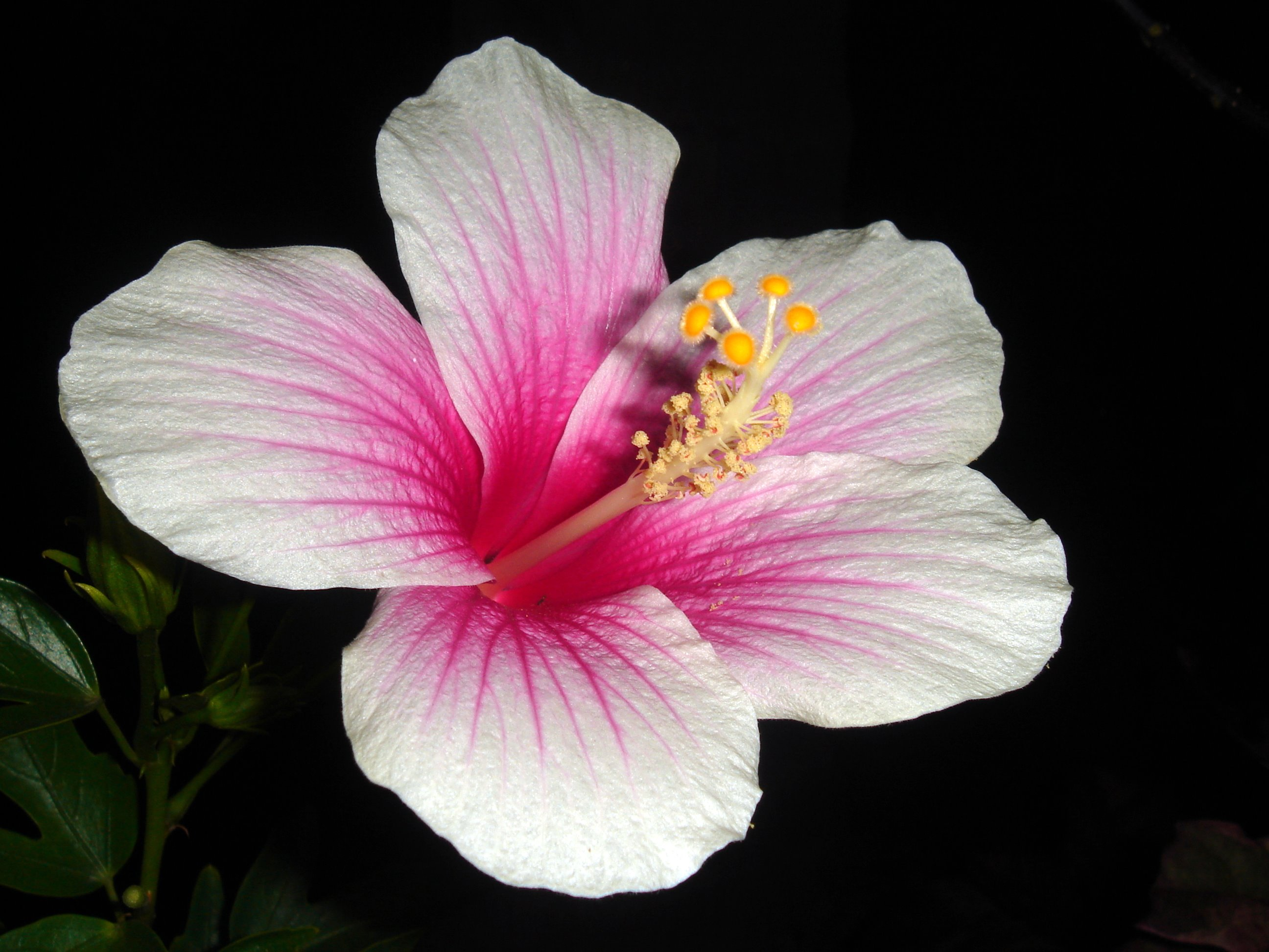 Diagram of a hibiscus flower izmirmasajfo