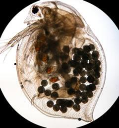 Daphnia magna. Via Wikipedia.