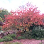 File Japanese Maple Tree At The Rock Garden Jpg Wikimedia Commons