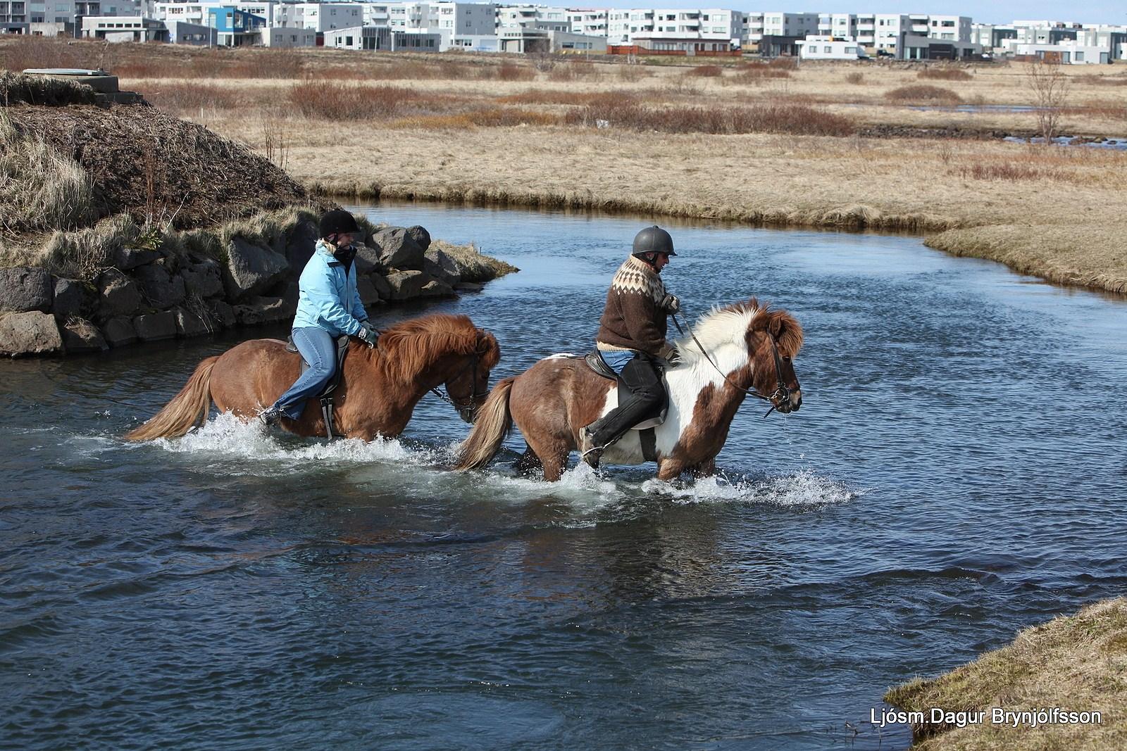 icelandic horses, islandpferde