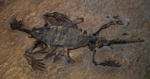 Odontochelys semitestacea 433.jpg
