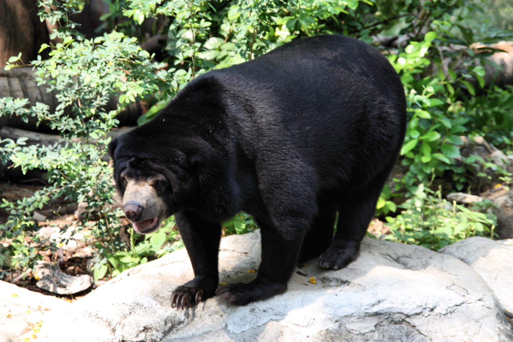FileSun Bear Helarctos Malayanus In Dusit Zoo Bangkok