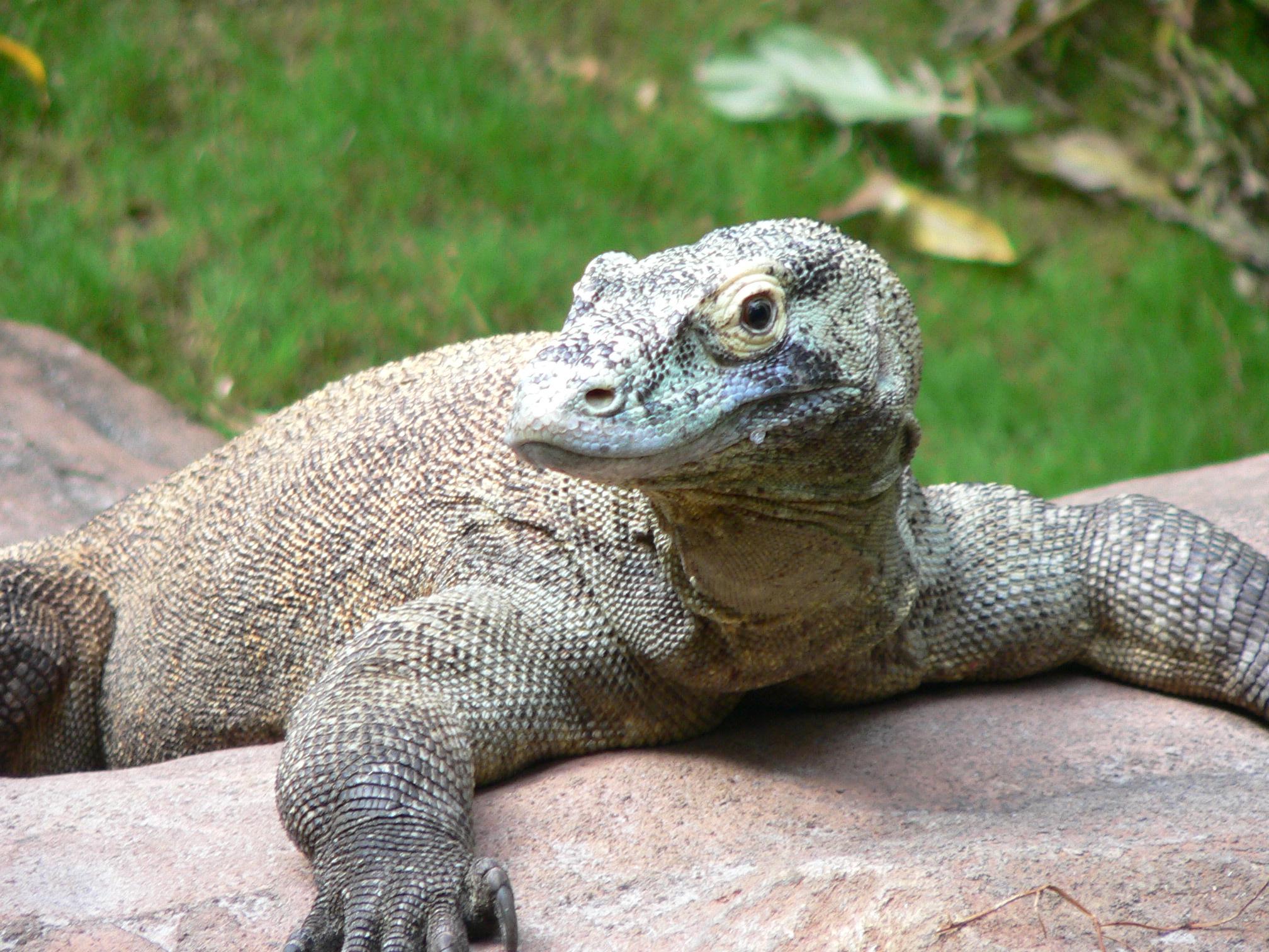 Dragão-de-komodo. Foto Wikipedia.org