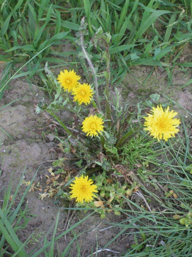 Taraxacum officinale herbicide damage