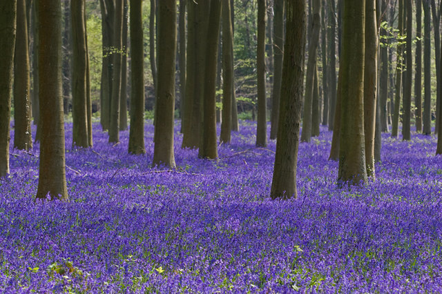 Bluebells at Angmering estate - geograph.org.uk - 1277660