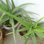 The Herb Gardener How To Repot An Aloe Vera Plant