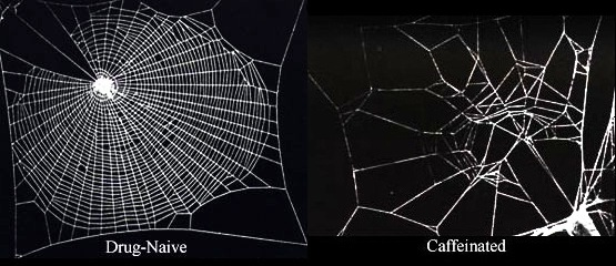 File:Caffeinated spiderwebs modified.jpg