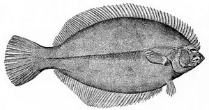 Flounder have both eyes on one side of their head.