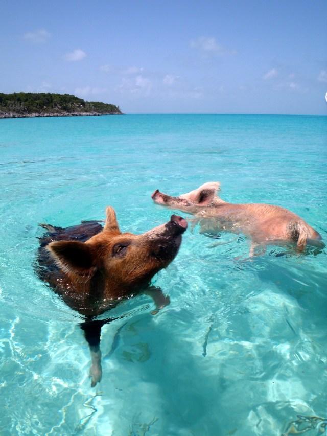 Pig Beach - Wikipedia