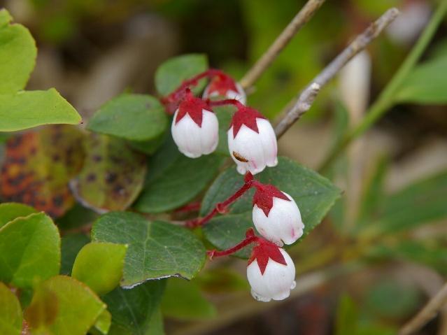 Gaultheria Adenothrix Wikimedia Commons